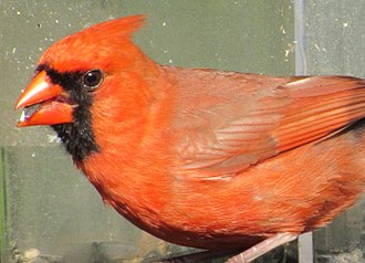 Cardinal (bird) - An American male cardinal feeds on a sunflower seed.