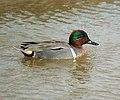 Male Green-winged Teal- Bolsa Chica Wetlands (4412426773).jpg