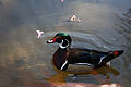 Male Wood Duck (3385877132).jpg
