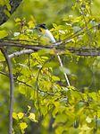 Male white morph Asian Paradise Flycatcher (27054912135).jpg