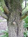 Malus trilobata trunk 01 by Line1.jpg