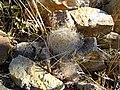 Mammillaria guelzowiana (5729400527).jpg