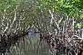 Mangroves in Roatán Honduras.jpg