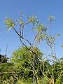 Marcetella moquiniana - Botanischer Garten, Frankfurt am Main - DSC02397.JPG