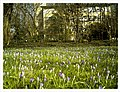March Spring Crocus Botanischer Garten Freiburg - Master Seasons Rhine Valley Photography - panoramio.jpg