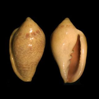 Marginellinae subfamily of molluscs