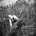 Marija, Sv. Vrh, žanje koruzovno 1951.jpg