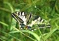 Mariposa desovando - butterfly laying eggs (249924255).jpg