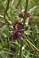 Marsh Cinquefoil (Potentilla palustris), Belmont - geograph.org.uk - 1379029.jpg