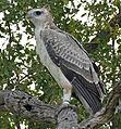 Martial Eagle (Polemaetus bellicosus) juvenile (17304080826).jpg
