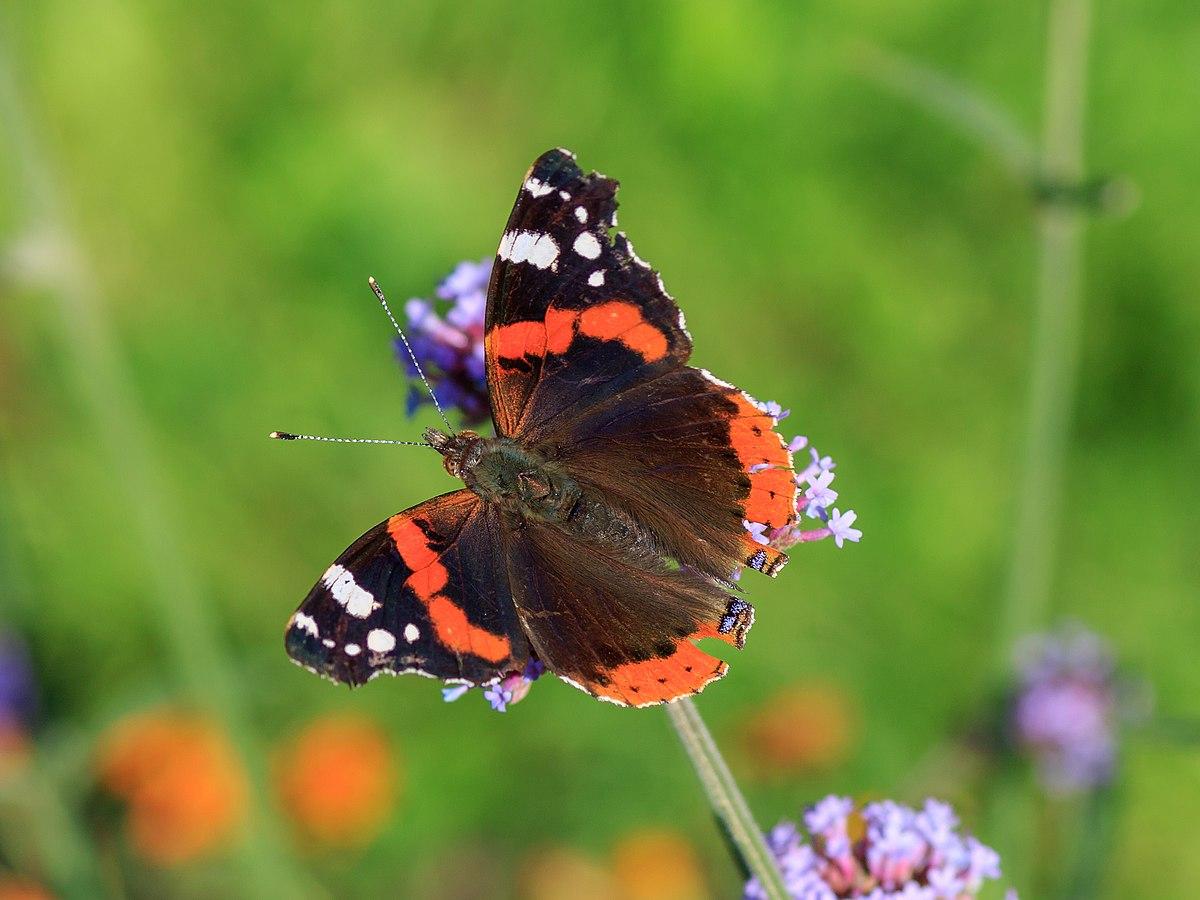 Vanessa (butterfly) - Wikipedia