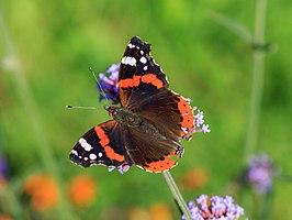Atalanta (vlinder)