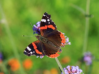 <i>Vanessa</i> (butterfly) A genus of brush-footed butterflies in the family Nymphalidae with a near-global distribution