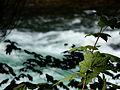 McKenzie River (23198257921).jpg