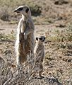 Meerkats (Suricata suricatta) sentinels looking out ... (32413471312).jpg