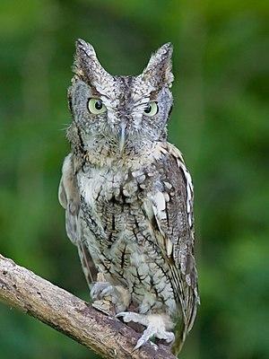 Screech owl - Gray morph