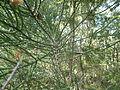Melaleuca foliolosa 01.JPG