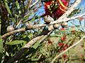 Melaleuca phoenicea (mature fruit).jpg