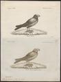 Melanocorypha tartarica - 1700-1880 - Print - Iconographia Zoologica - Special Collections University of Amsterdam - UBA01 IZ16100359.tif