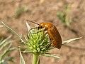 Meloidae sobre Eryngium campestre (7072217321).jpg