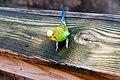 Melopsittacus undulatus -Fort Worth Zoo-8b.jpg