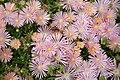 """Mesa Verde Iceplant (Delosperma) """"Kelaidis"""" - United States National Arboretum - (1).jpg"""