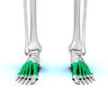 Metatarsal bones03.png