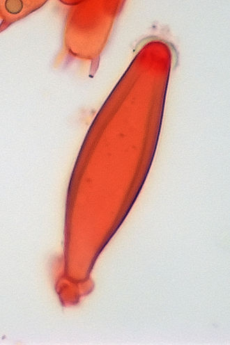 Cystidium - Metuloid-type cystidium of Inocybe, stained with Congo red.