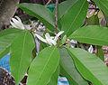 Michelia alba.jpg