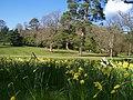 Mid Devon , Knightshayes Court - Daffodils - geograph.org.uk - 1271973.jpg