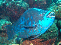 Midnight-parrotfish