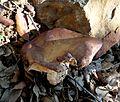 Milk Cap. Lactarius sp. (controversa^) - Flickr - gailhampshire.jpg