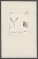 Millepora groningana - - Print - Iconographia Zoologica - Special Collections University of Amsterdam - UBAINV0274 111 07 0023.tif