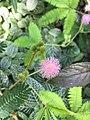 Mimosa Pudica Geneve.jpg