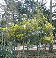 Mimosa fleurs Thabor Rennes.JPG