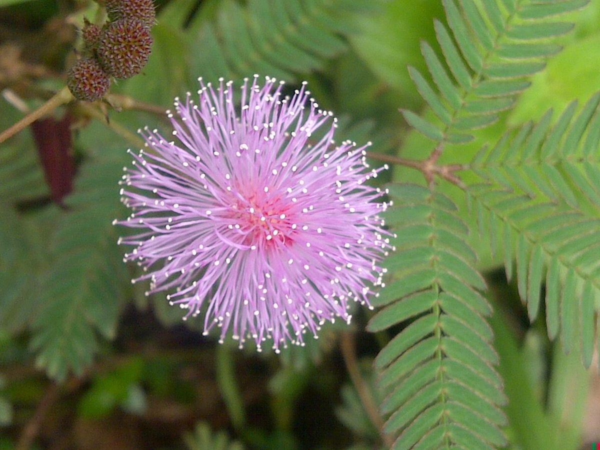 mimosa pudica wikipedia. Black Bedroom Furniture Sets. Home Design Ideas