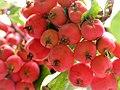 Mini apples 海棠 (6237553140).jpg