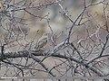 Mistle Thrush (Turdus viscivorus) (50800301863).jpg