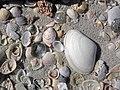 Mollusc shells on marine beach (Cayo Costa Island, Florida, USA) 8 (23959787359).jpg
