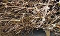 Mon pommier décoratif - panoramio.jpg