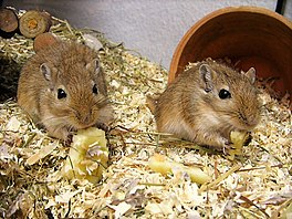 In pear Mongoalske gerbils.
