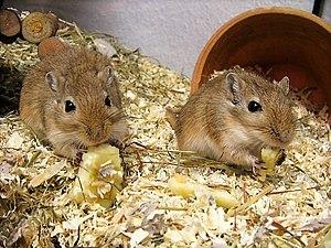 Mongolian racing rat (Meriones unguiculatus)