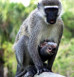 Vervet monkeys use at least four distinct alarm calls for different predators. Monkey & Baby.JPG