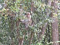Monkey in a tree (7568395532).jpg