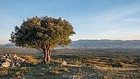 Montes de Vitoria - Quercus ilex 01b.jpg
