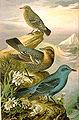 Monticola solitarius NAUMANN.jpg