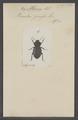 Morica - Print - Iconographia Zoologica - Special Collections University of Amsterdam - UBAINV0274 027 18 0002.tif