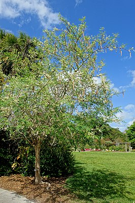 Moringa oleifera - Mounts Botanical Garden - Palm Beach County, Florida - DSC03811.jpg
