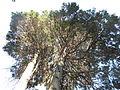 Morris Arboretum Chamaecyparis lawsoniana 'Ellwoodii'.JPG
