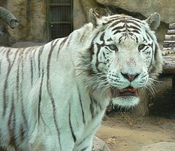 Moscow zoo white tiger.jpg